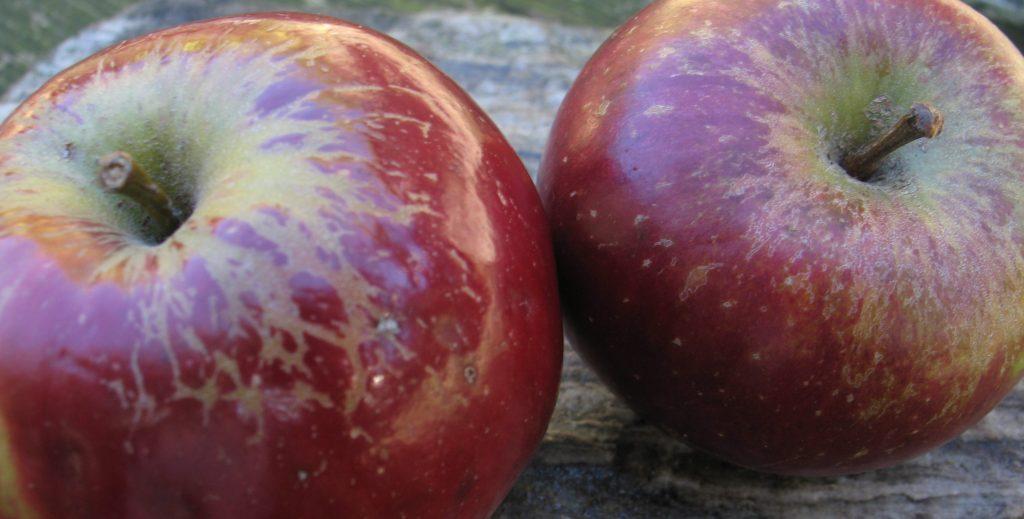Appels - rechts Inge Marie, links Sneeuwwitje